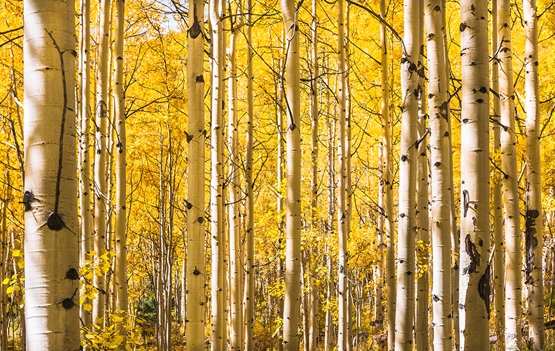 Aspen trees in Autumn, Maroon Bells Wilderness, Aspen Colorado