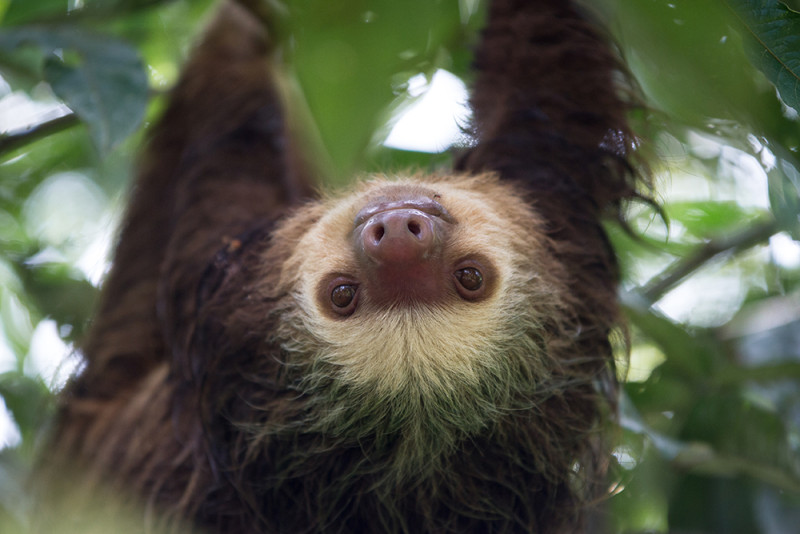 Sloths in Central America