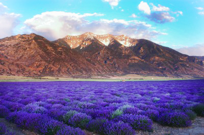How oftendo you get to gocamping with 500 of your closest friends in a field of lavender?